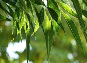 Eucalyptus5 [640x480]